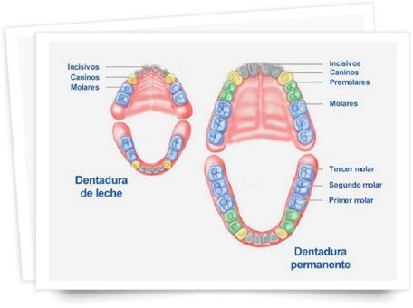 Secuencias de la dentición temporal y la definitiva
